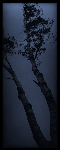 Blue Birch Trees